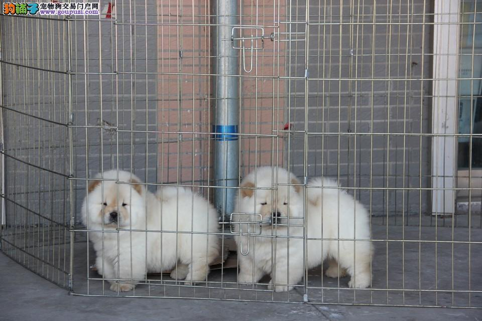 出售纯种大头肉嘴紫舌头松狮犬多种颜色疫苗驱虫做完可