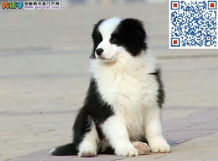 边境牧羊犬 保证纯种健康、签订活体协议、可见狗父母