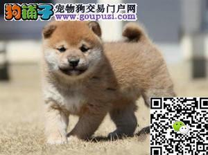 纯种日系柴犬 超级聪明忠实血统纯正品相好健康