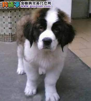 极品血统圣伯纳, CKU认证犬舍 保证血统保证健康