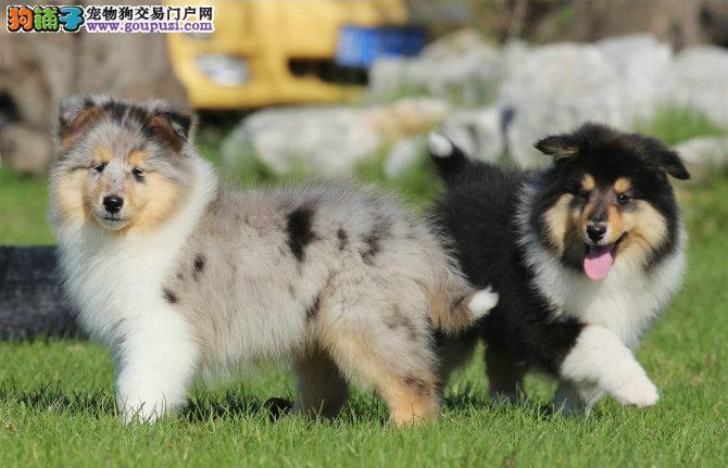 延安自家狗场繁殖直销苏牧幼犬品质血统售后均有保障