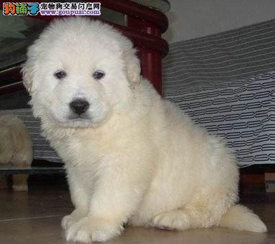 大白熊价格大白熊照片纯种大白熊广州买大白熊价格多少