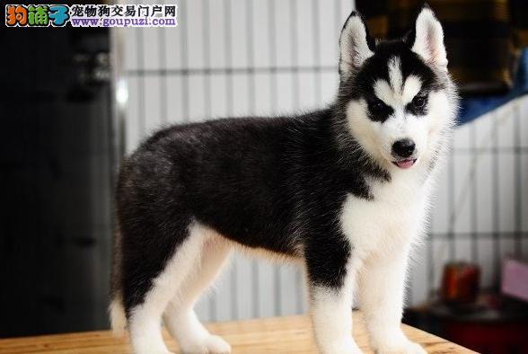 正规犬舍繁殖纯种 赛级哈士奇保纯种健康 可送货