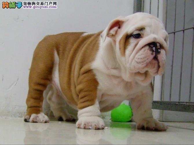 大理州上门犬业出售英国斗牛犬/当天全款包邮·送货上