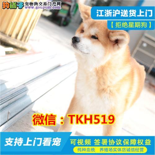 高品质日系秋田犬 血统纯种 带秋保书 欢迎上门