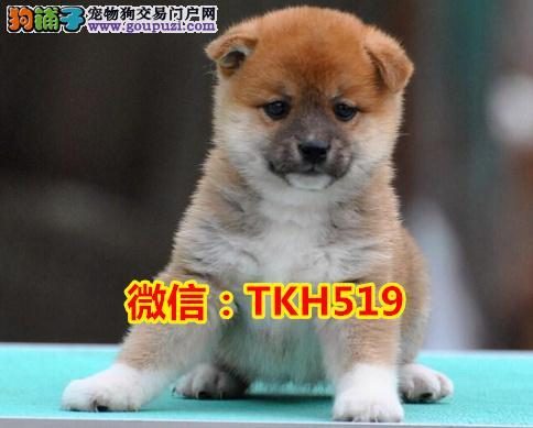 专业繁殖柴犬 血统签订合同终身保障