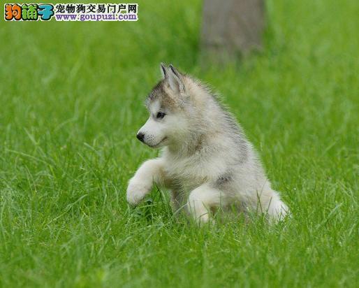出售纯种三火蓝眼睛哈士奇幼犬
