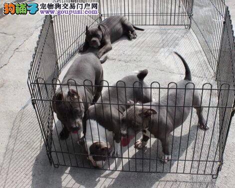 纯种比特犬幼崽,一宠一证证件齐全,购犬可签协议