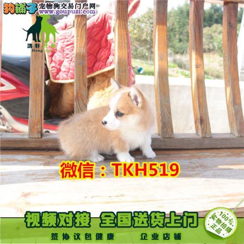 纯种柯基犬繁殖基地出售两色三色柯基宝宝 纯种健