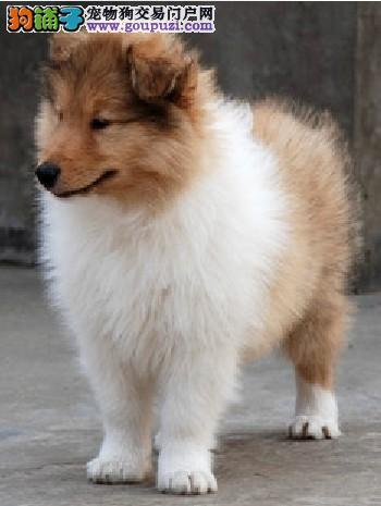 专业繁殖苏牧幼犬 三色雕白多种颜色 保纯种