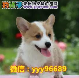 犬舍诚信出售 高品质纯种健康 柯基幼犬 可上门挑