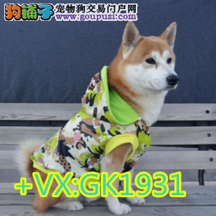 纯种高品质秋田犬正规秋田犬繁殖基地,品质健康双。