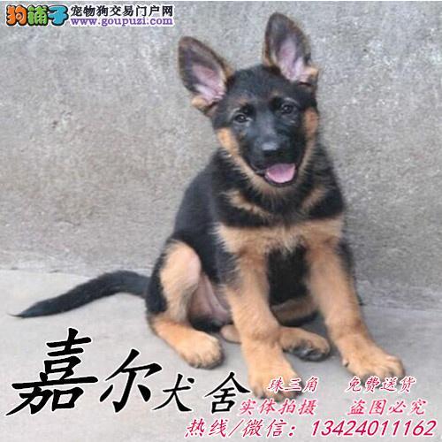 专业繁殖纯种德牧犬、终身保障签协议可看狗父母