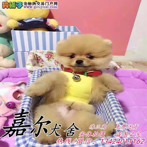 深圳哪里有卖博美犬,深圳买狗去哪里,深圳博美犬价格