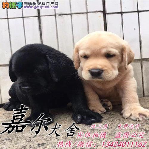 深圳哪里有卖纯种拉布拉多狗 什么狗最好养 嘉尔犬舍