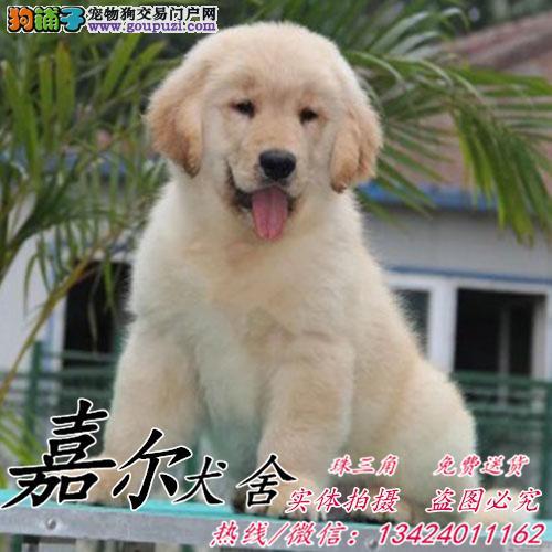 深圳哪里有卖金毛狗出售 导盲犬寻回犬金毛幼犬