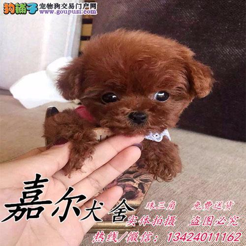 深圳哪里有卖贵宾犬 出售3个月纯种贵宾小狗