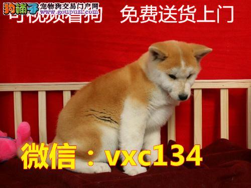 养不死才是王道 名牌基地直销秋田犬 健康保障