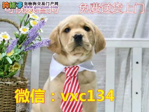 高品质拉布拉多幼犬出售 诚信犬舍直销保证纯种健康