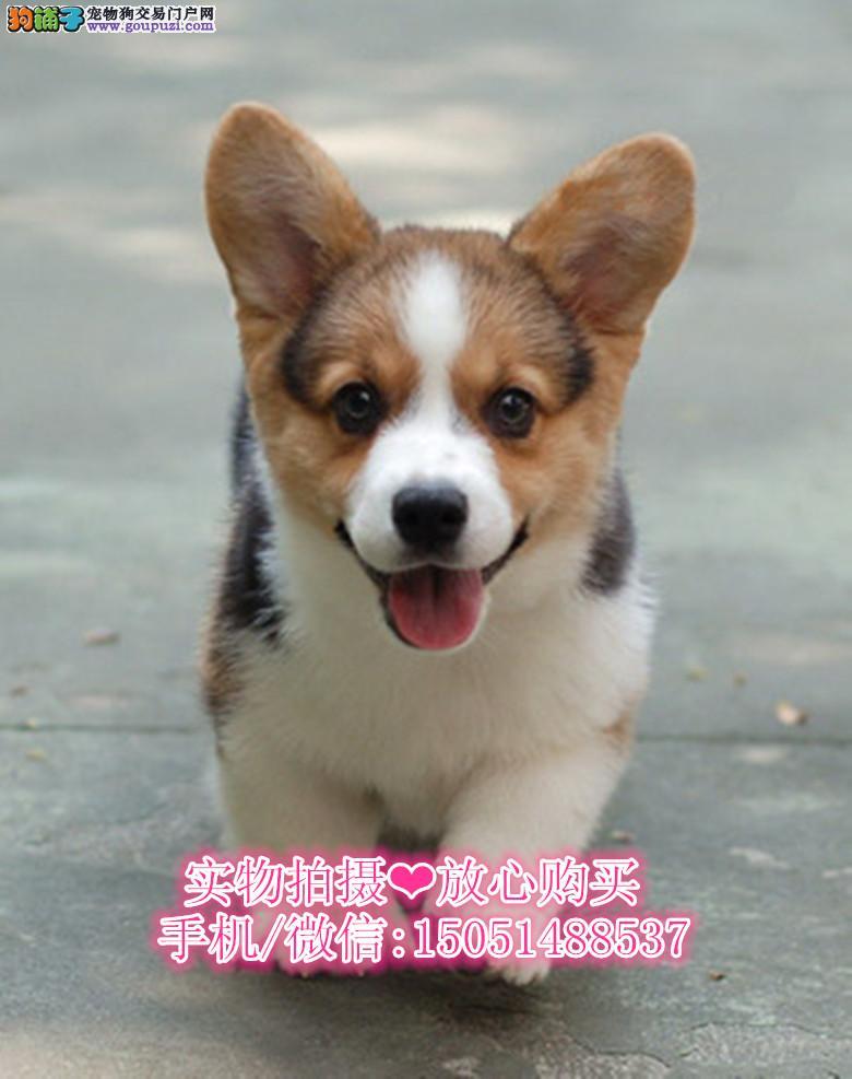 专业养殖繁育基地出售柯基犬 品质 健康 有保障