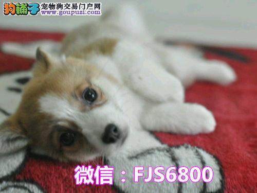 纯种两色三色柯基幼犬出售 包纯种包健康签协议