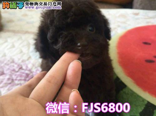 苏州本地繁殖  极品泰迪幼犬  包纯种健康包养活