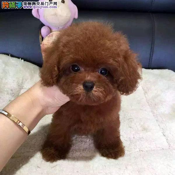 贵宾犬幼犬 茶杯泰迪 玩具泰迪 迷你型红白黑灰色