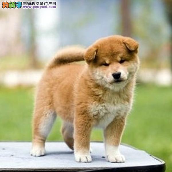 忠诚可靠的漂亮柴犬幼犬 个性机敏 独立 身体强健