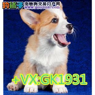 威尔士级柯基幼犬两色、三色均有、品相好、健康好