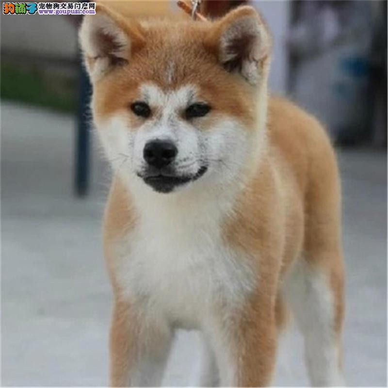 纯种秋田犬价格合理 买狗签协议包纯度健康