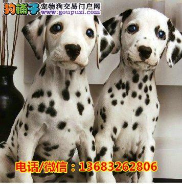 大骨架斑点犬 疫苗驱虫已做 签协议 可送货上门