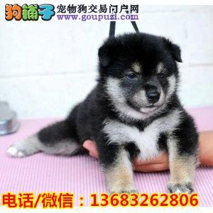纯种日系柴犬出售 签协议包健康 包纯种