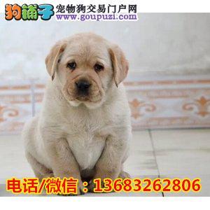 精品纯种拉布拉多犬,有公母,保证健康售后无忧