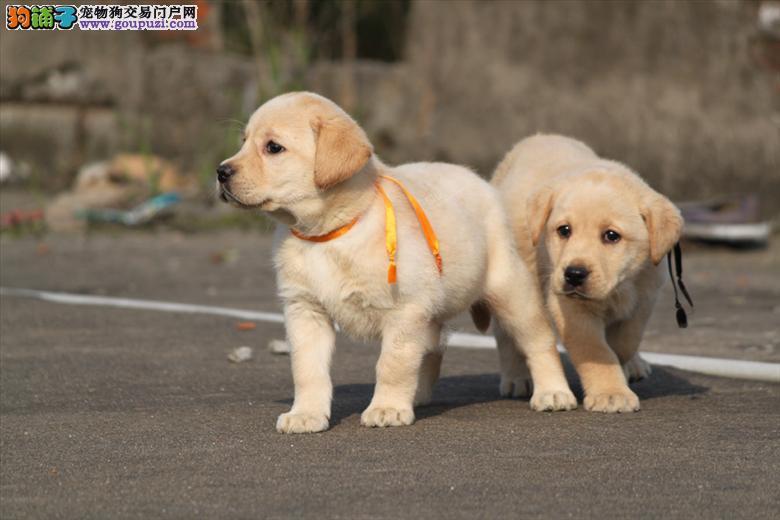 出售纯种金毛,拉布拉多幼犬,可上门挑选