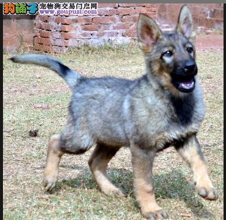 西双版纳哪里卖狼犬 云南地区纯种狼犬多少钱