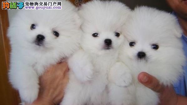 哈市出售俊杰版博美幼犬