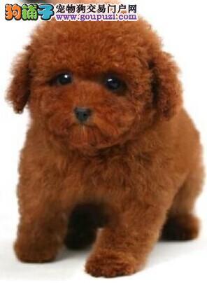 云南地区最好的狗场 最好的犬舍出售纯种泰迪犬