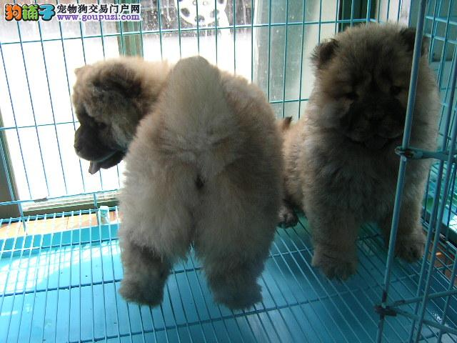 红河哪里卖纯种松狮犬 云南哪里有大型养狗场