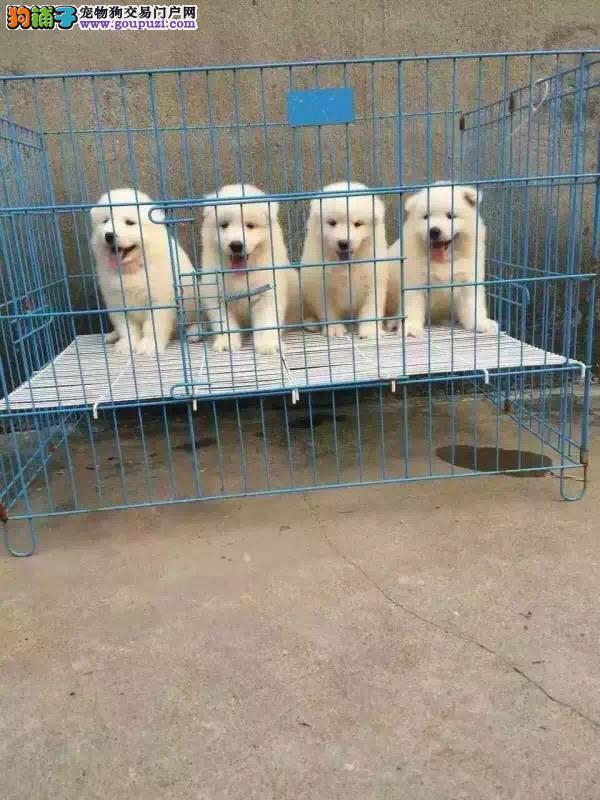 犬舍直销精品萨摩耶幼犬公母都有多只可选保健康签售后