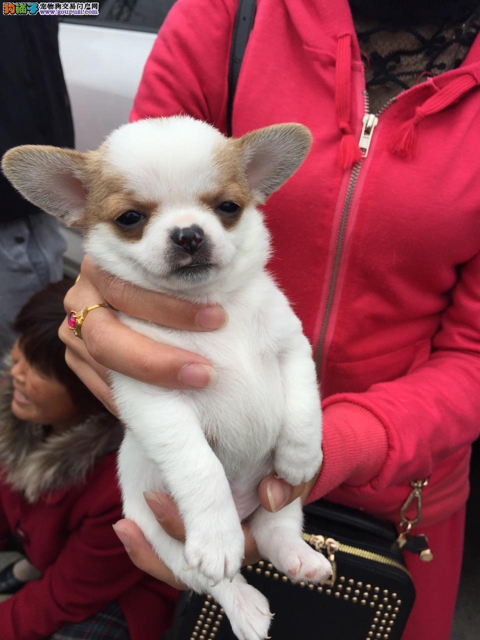 犬舍直销苹果头吉娃娃驱虫疫苗已完成保证健康签协议