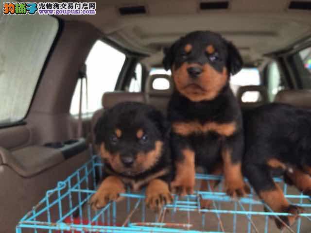 犬舍直销双血统德系罗威纳疫苗已完成健康有保证