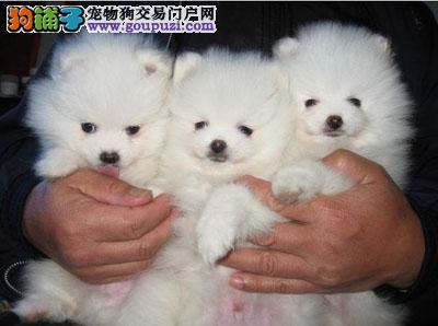 俊介犬价格多少 广州到哪买俊介犬 广州新光狗场俊介犬