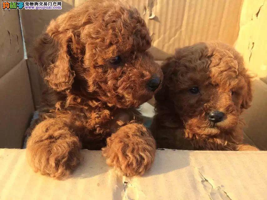 西藏哪里卖宠物犬 西藏地区纯种泰迪犬 多少钱