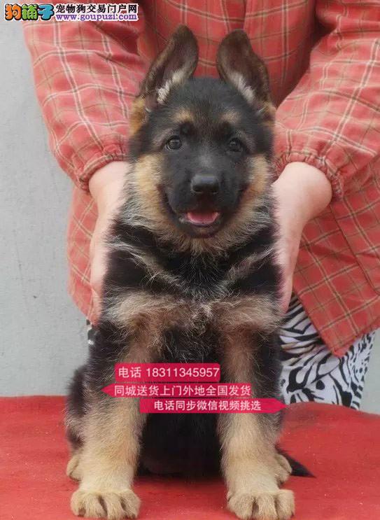 纯种德国牧羊犬 专业繁殖高端宠物 纯种德牧幼犬待售