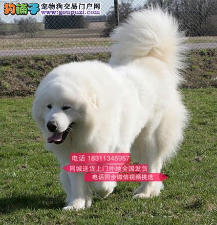 纯种大白熊 专业繁殖高端宠物 纯种大白熊幼犬待售