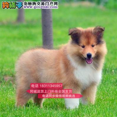 纯种苏格兰牧羊犬 专业繁殖高端宠物 纯种苏牧幼犬待售