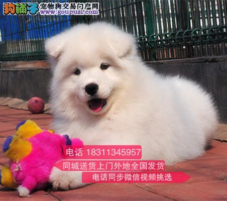 纯种微笑天使萨摩耶 犬舍直销 欢迎选购 萨摩耶