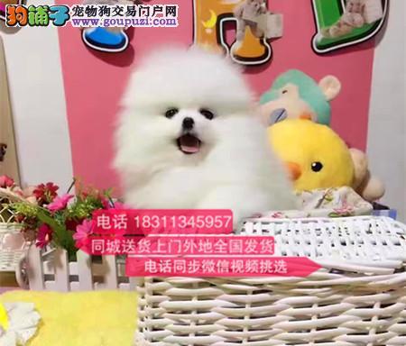 极品博美犬 喜欢来预约实物拍摄 外地可视频选狗
