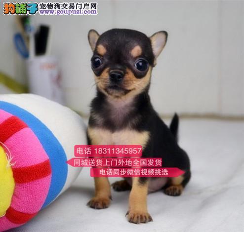 纯种吉娃娃 专业繁殖高端宠物 纯种吉娃娃幼犬待售