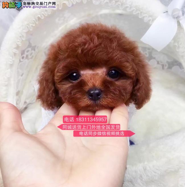 纯种泰迪犬 专业繁殖高端宠物 纯种泰迪幼犬待售